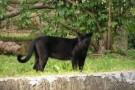 Onça volta a atacar gado em área rural em Mantenópolis