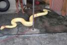 Cobra de 4 metros é capturada dentro de casa em São Francisco do Sul