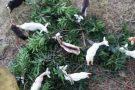 Cabritos sobrevivem de folhas de manga em Barra de São Francisco