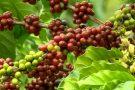 Importação de café é autorizada e ES pode ter prejuízo de R$ 1,5 bilhão