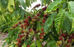 Agricultores de São Mateus já se preparam para a colheita do café