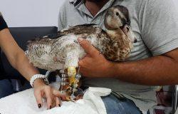 Brasil: pato de estimação ganha prótese e volta a andar