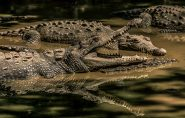 Pastor tenta imitar Jesus e acaba devorado por crocodilos