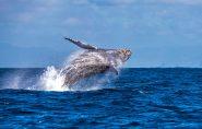 Baleias jubarte são fotografadas no litoral do Espírito Santo