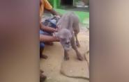 Cabra com 'rosto humano' apavora vilarejo na Índia