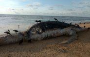 Baleia jubarte morta aparece em praia de Guriri