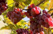 Agricultores no Norte do ES apostam na produção de uvas apesar do clima quente