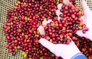 Espírito Santo é 2º maior produtor de café do Brasil