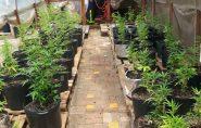 BRASIL: bombeiros descobrem plantação de maconha em 'centro de reabilitação' para usuários de droga