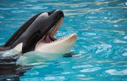 Cientistas revelam que baleia orca consegue imitar a fala humana
