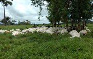 Raio mata 103 bois e deixa prejuízo de R$ 130 mil a fazendeiro de Rondônia