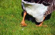 Acusado de roubar casal de gansos em Colatina deve ser indenizado