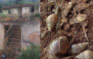 Casas abandonadas viram criadouros de caramujos africanos e preocupa moradores de Barra de São Francisco