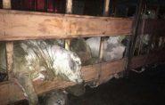 Ecoporanga: carreta carregada com gado tomba e pega fogo
