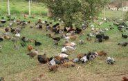 Financiamento incentiva a produção de ovos caipiras no Espírito Santo
