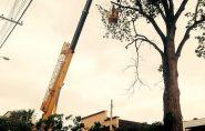 Prefeitura emite nota de esclarecimento sobre corte da Peroba no centro de Barra de São Francisco