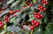 Safra boa e mais fiscalização melhoram ICMS do café capixaba