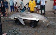 Tubarão cai na rede de pescadores em praia do Espírito Santo